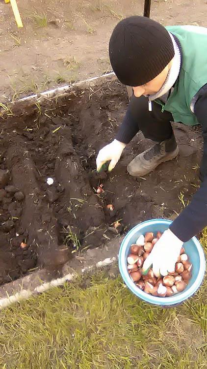 Когда сажать тюльпаны под осень в спб 36